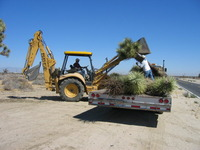 Joshua Tree Relocation