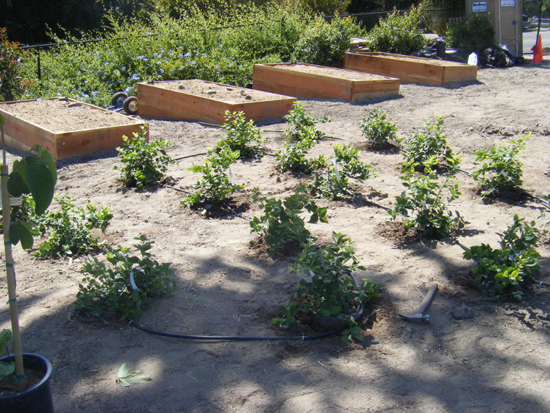 Raised Blueberry Beds