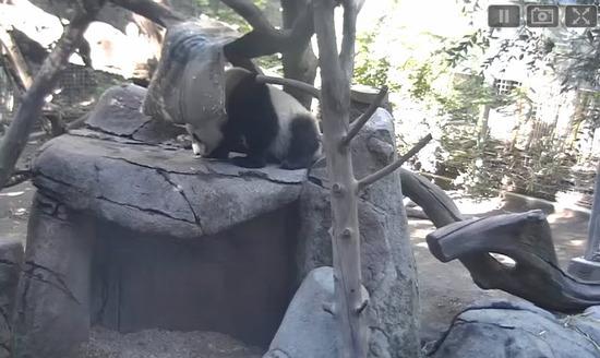 Web Cam Panda Cam - San Diego Zoo