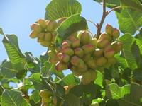 Pistachio nuts on the tree.