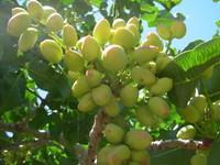 Green Pistachio Nuts