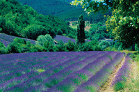 French-lavender_field_1_