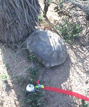 Spotted a Desert Tortoise