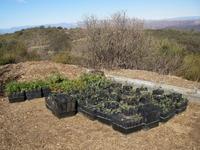 Kay Restoration Plants Acclimitizing