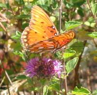 IPM Butterfly