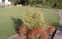 Buffalo Grass & CA Friendly Plants