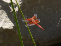 IPM Dragonfly