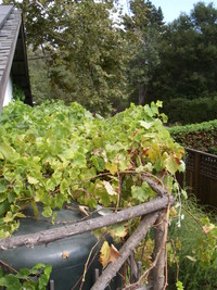 Grape Vine Privacy Screening