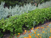 Passion Fruit Privacy Hedge