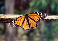Attract Butterflies with HFF!