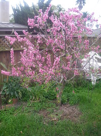 Peach Tree - Flowering
