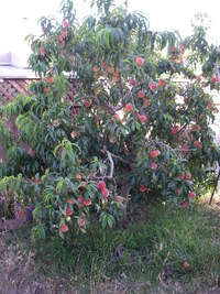 Peach Tree - Ripe Fruit