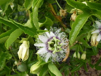 Passion Flower Plantings