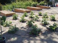 Raised Plantings and Blueberries