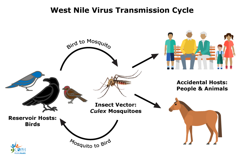 West Nile Virus Transmission Cycle in Bakersfield