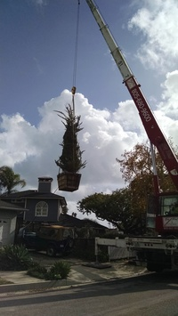 Planting - craning large box trees