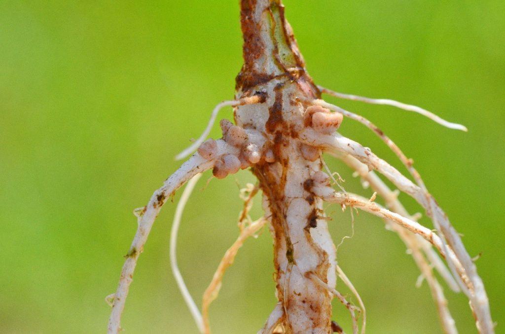 Ciclo do Nitrogênio: a imagem mostra nódulos de bactéria Rhizobium na raíz de uma planta leguminosa
