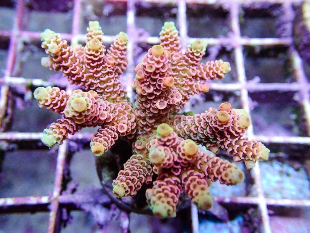 Ciclo do Nitrogênio: o controle dos níveis de nitrato é essencial para a manutenção de corais de dificuldade elevada, como as Acroporas.