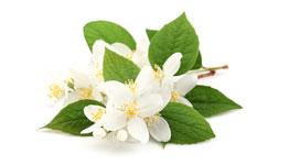 jasmineflower
