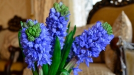 Букет гиацинтов ′HYACINTH BLUE′.