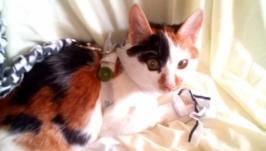 Поводок для кішки на замовлення