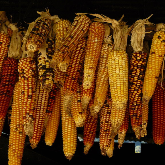 Corn square