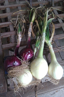 Big homemaker onions