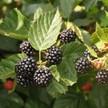 Blackberry: Triple Crown Thornless image