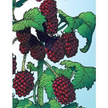 Blackberry: Olallie image