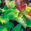 Lettuce: Wild Garden Lettuce Mix image