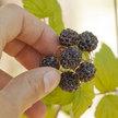 Raspberry: Cumberland Black Cap image
