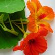 Nasturtium: Jewel Mixed Colors image