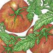 Tomato: Amana Orange image