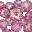 Onion: Rossa Di Milano image