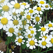 how to grow chamomile indoors