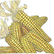 Corn: Tom Thumb Popcorn image