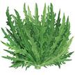 Lettuce: Garden Ferns image