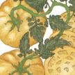 Tomato: Yellow Brandywine image