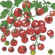 Tomato: Sweetie image