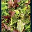 Lettuce: Rocky Top Lettuce Mix image