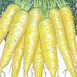 Carrot: Solar Yellow image