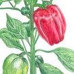 Peppers: California Wonder image