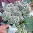 Broccoli: Nutri-Bud image
