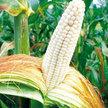 Corn: Texas Honey June image