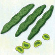 Bean, Fava: Aquadulce image