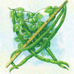 Bean, Yardlong / Asparagus: Red-Seeded Asparagus image