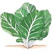 Kale: Tronchuda Beira image