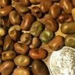 Bean, Fava: Sweet Lorane image