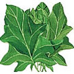 Spinach: Oriental Giant image