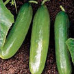 Cucumber: Horace Boyette Burpless image